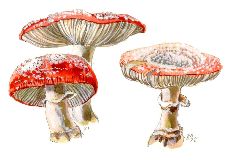 [ Amanita muscaria, Beverly Hackett]
