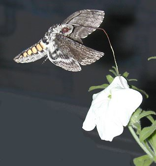 [ Nocturnal hawkmoth and a petunia.]
