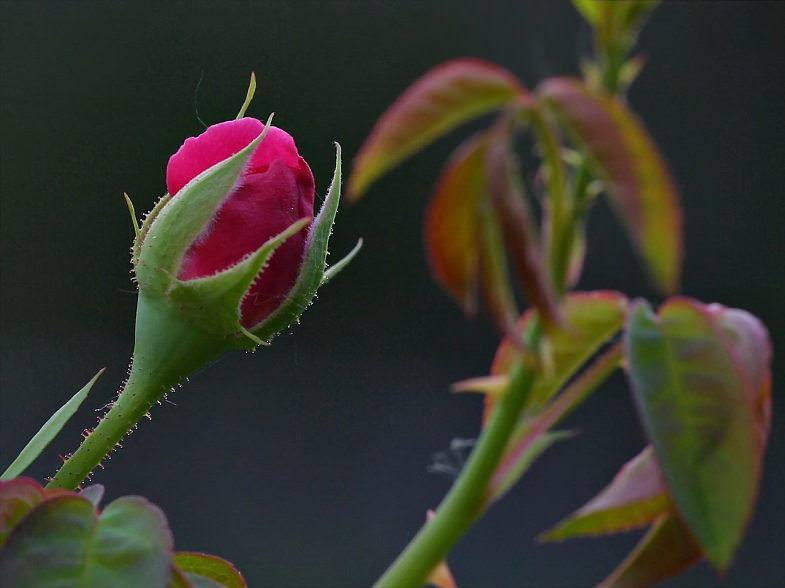 [ A rose bud in dusk. Courtesy of Bruce M. Burton. ]