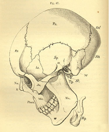 [ Human skull from T.H. Huxley's Lectures on the Elements of Comparative Anatomy.]
